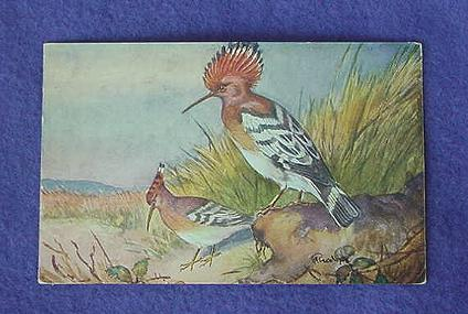 Vintage Hoopoe Postcard from Europe