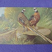 Vintage Pheasant Postcard from Europe