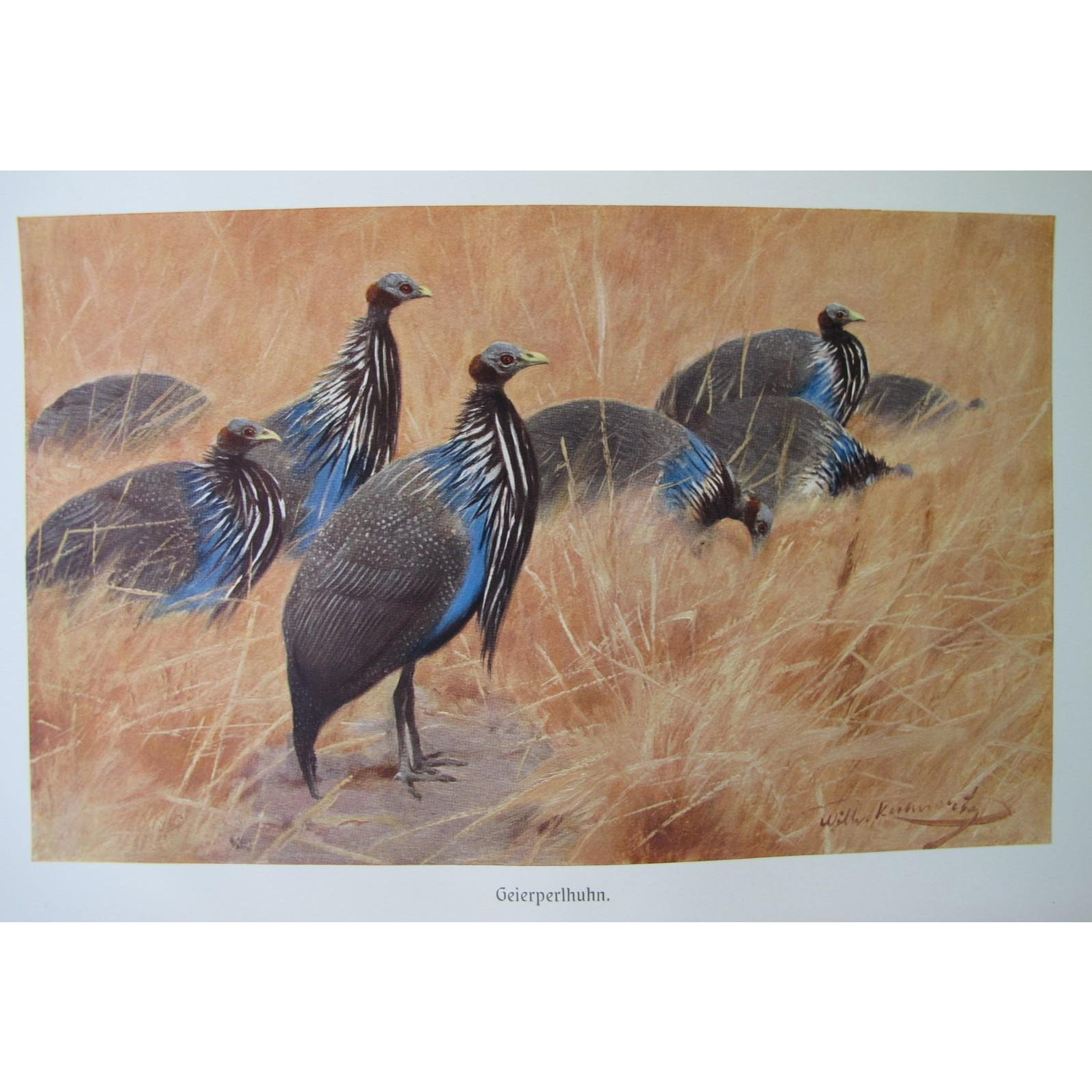 Antique Vulturine Guinea Fowl Litho from Germany