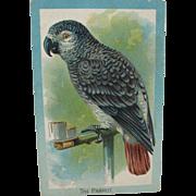 Victorian Tuck's African Grey Parrot Postcard