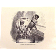 Victorian Engraving Print Of Two Pug Dogs