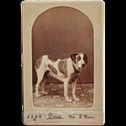 "Antique Cabinet Photograph ~ Saint Bernard Dog Named ""Diana"""
