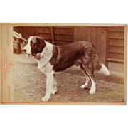 Antique Cabinet Photograph ~ Saint Benard Dog