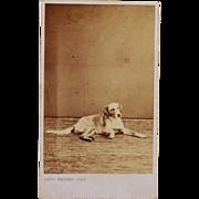 Antique CDV Dog Photograph ~ French Hound C1878
