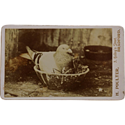 Antique CDV Photograph ~ Beloved Homing Pigeon