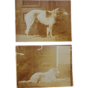 Antique Dog Photographs ~ Russian Wolfhound Borzoi