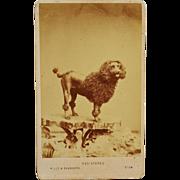 Antique CDV Dog Photograph ~ Large Poodle