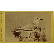 Antique CDV Bird Photograph ~ Sabine's Gull