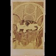 Antique CDV Photograph ~ French Cat