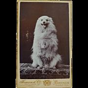 Antique CDV Photograph ~ Begging Spitz Dog