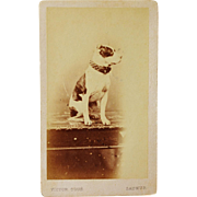 Antique CDV Dog Photograph ~ Staffordshire Bull Terrier