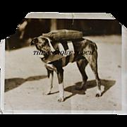 """Pre WW2 Parachute Rescue Dog """"Maggie Jiggs"""" Press Photograph"""