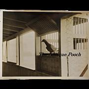 WW1 Messenger Pigeon  ~ Official British Naval Photograph
