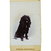 Antique CDV Dog Photograph ~ Black Poodle