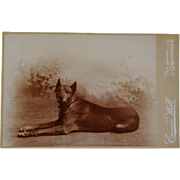 Antique Cabinet Photograph ~ Great Dane Dog