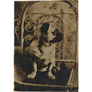 Antique Photograph ~ Pug Dog In Wicker Chair