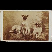 Antique CDV Photograph ~ Pug Dog Trio