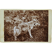 Rare Antique Cabinet Photograph Of Coyote