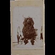 Antique French CDV Photograph ~ Black Poodle