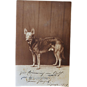 Early RPPC Postcard German Shepherd Dog ~ C1921
