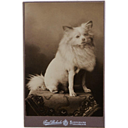 Antique Cabinet Photograph ~ Spitz Dog