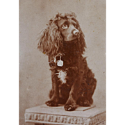 Antique Cabinet Photograph ~ Lovely Spaniel Dog