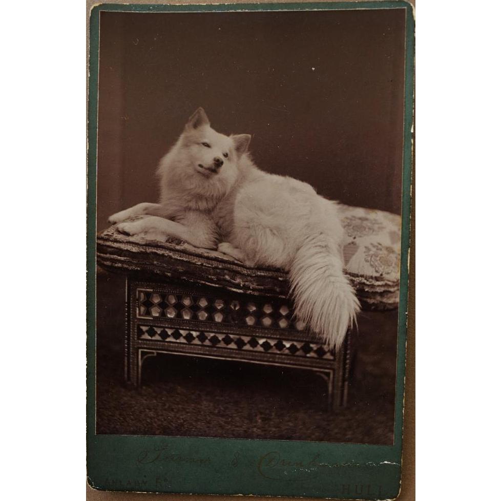 Antique Cabinet Photograph ~ Spitz Dog