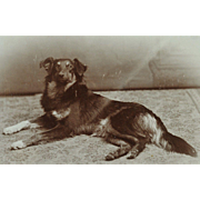 Antique Cabinet Photograph ~ Shepherd Dog