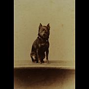 Antique CDV Dog Photograph ~Adorable Terrier