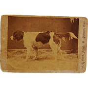 Antique Cabinet Photograph ~ Retriever Dog