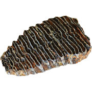 Polished Section of Extinct Juvenile Mammoth Fossil