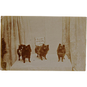 C1911 Pomeranian Dogs Collecting For Charity Postcard