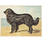 "C1890 Chromolithograph From The Illustrated Book of the Dog Cassell & Co. ~ Newfoundland Named ""Leo"""