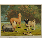 C1890 Chromolithograph From The Illustrated Book of the Dog Cassell & Co. ~ Yorkshire Terrier, Italian Greyhound, Pug