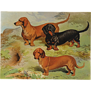 C1890 Chromolithograph From The Illustrated Book of the Dog Cassell & Co. ~ Dachshunds