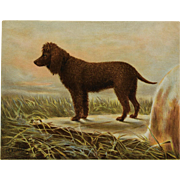 "C1890 Chromolithograph From The Illustrated Book of the Dog Cassell & Co. ~ Irish Water Spaniel ""Captain"""