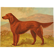 "C1890 Chromolithograph From The Illustrated Book of the Dog Cassell & Co. ~ Irish Setter ""Grouse II"""
