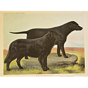 C1890 Chromolithograph From The Illustrated Book of the Dog Cassell & Co. ~ Retrievers