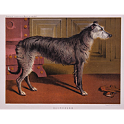 C1890 Chromolithograph From The Illustrated Book of the Dog Cassell & Co. ~ Deerhound