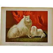 C1890 Chromolithograph From The Illustrated Book of the Dog Cassell & Co. ~ Pomeranian & Maltese