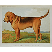 C1890 Chromolithograph From The Illustrated Book of the Dog Cassell & Co. ~ Bloodhound