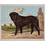 C1890 Chromolithograph From The Illustrated Book of the Dog Cassell & Co. ~ Mastiff