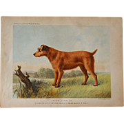 C1890 Chromolithograph From The Illustrated Book of the Dog Cassell & Co. ~ Irish Terrier
