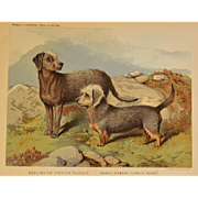 C1890 Chromolithograph From The Illustrated Book of the Dog Cassell & Co. ~ Bedlington & Dandie Dinmont Terriers