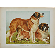 C1890 Chromolithograph From The Illustrated Book of the Dog Cassell & Co. ~ Rough Coated St Bernards