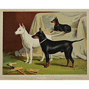 C1890 Chromolithograph From The Illustrated Book of the Dog Cassell & Co. ~ English Terriers