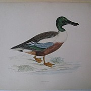 Beverley Morris British Game Birds, Shoveler Duck, 1855