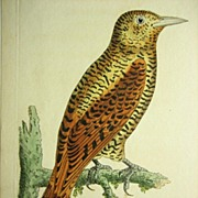 Shaw & Nodder Rufous Woodpecker # 753 Antique Print