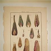 Lamarck Histoire Naturelles Mollusks Pl. 168