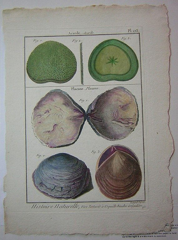 "Lamarck Histoire Naturelle Coquille Engraving Vintage Shell Print from ""Encyclopedia Methodique"" Paris Plate 173 1789-1832"